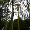 Very tall eucalyptus trees