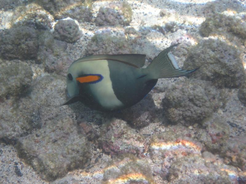 May 21 - Kahalu'u Beach Park - Orange Bar Surgeon Fish