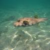 May 21 - Kahalu'u Beach Park - Stripebelly Puffer