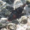May 21 - Kahalu'u Beach Park - Bullethead Parrotfish