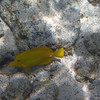 May 21 - Kahalu'u Beach Park - Yellow Tang