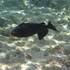 May 21 - Kahalu'u Beach Park - Black Triggerfish (Black Durgon)