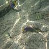 May 21 - Kahalu'u Beach Park - Yellowtail Coris Wrasse