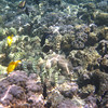 May 21 - Kahalu'u Beach Park - Yellow Tang, Black Durgon and Convict Tang