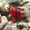 May 21 - Kahalu'u Beach Park - Red Pencil Sea Urchin