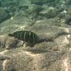 May 21 - Kahalu'u Beach Park - Sailfin Tang