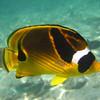 May 21 - Kahalu'u Beach Park - Racoon Butterflyfish