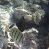 May 21 - Kahalu'u Beach Park - Convict Tangs and Orangespine Unicorn Fish