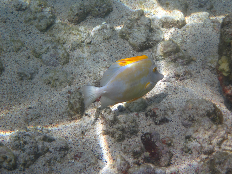 May 21 - Kahalu'u Beach Park - Wierd Lemon Tang