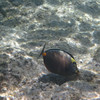 May 21 - Kahalu'u Beach Park - Orangespine Unicornfish