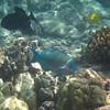 May 21 - Kahalu'u Beach Park - Palenose Parrotfish