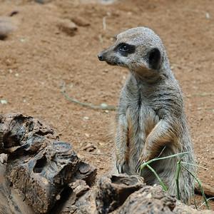 Meerkat at Honolulu Zoo