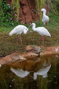 African Spoonbills preening
