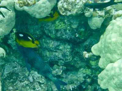 Fourspot Butterflys with Parrotfish