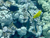 Yellow Tang and