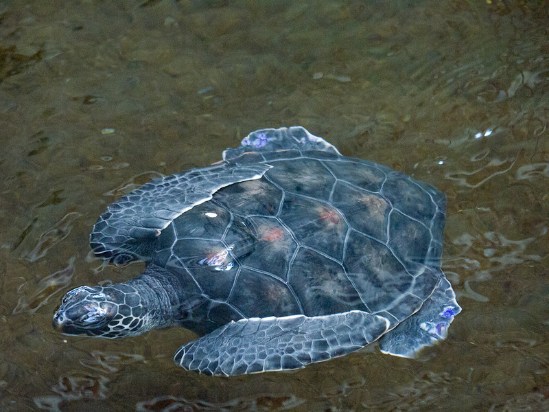 The Mauna Lani resort has baby sea turtles in their pond as part of a breeding program.