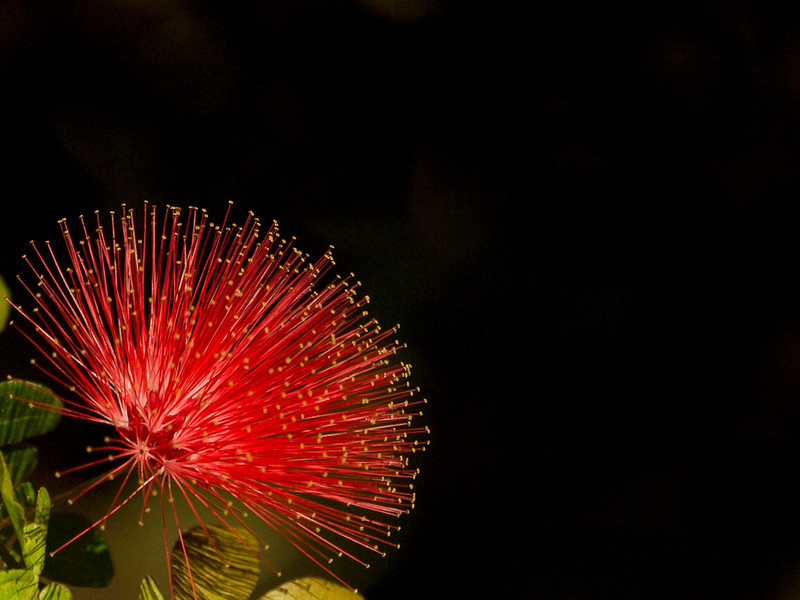 The red Lehua (flowers) of the Ohi'a Lehua plant are the offical flower of the Big Island.