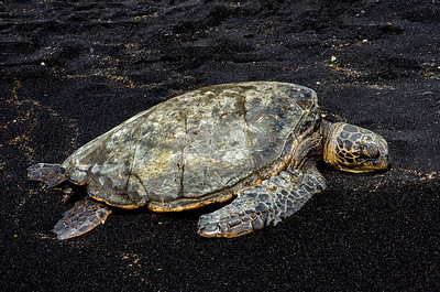 Green Sea Trurtle at Punalu'u Black Sand Beach