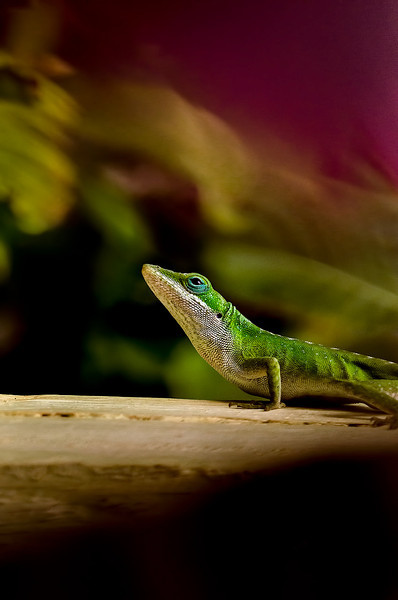 Contemplative<br /> <br /> Northern Green Anole (Anolis carolinensis carolinensis)<br /> <br /> Beautiful anole...Sadly yet another introduced species...