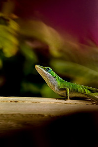 Contemplative  Northern Green Anole (Anolis carolinensis carolinensis)  Beautiful anole...Sadly yet another introduced species...