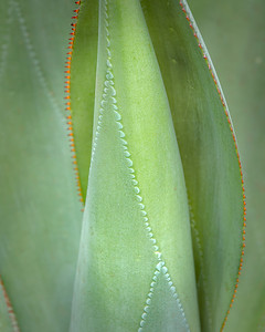 Patterns on an Aloe leaf...  These things are everywhere on the islands