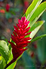Bromeliad grow everywhere.  This is called Red Ginger.