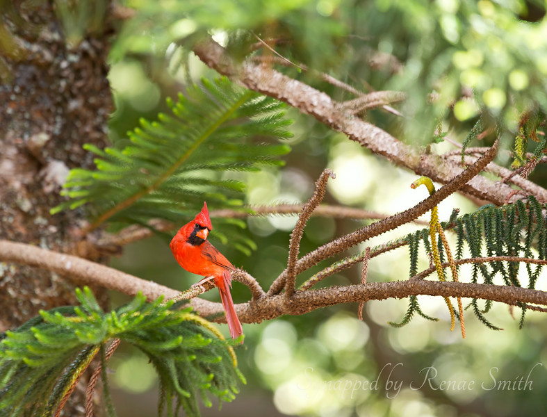 Northern Cardinal<br /> <br /> These are not native to Hawaii but were brought in at some time and have taken well to the islands.
