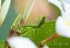 Even preying mantis like the plumeria flowers!