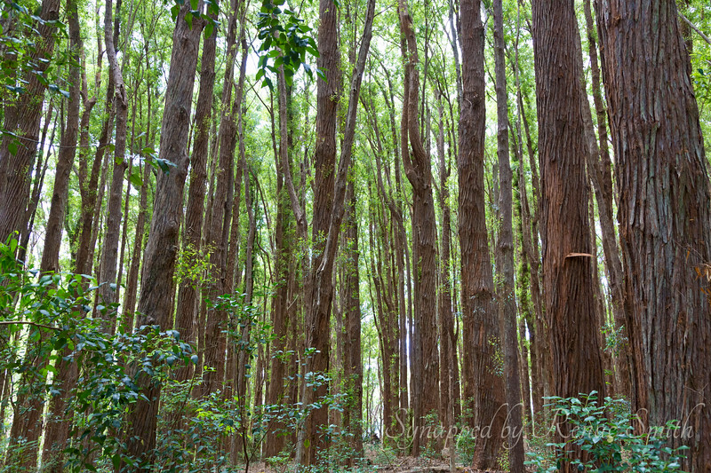 Australian eucalyptus imported to Molokai.