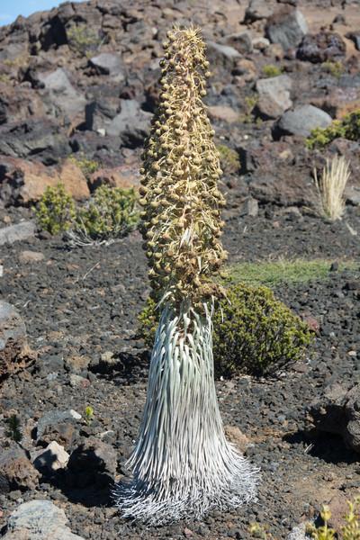 Silver Sword Plant