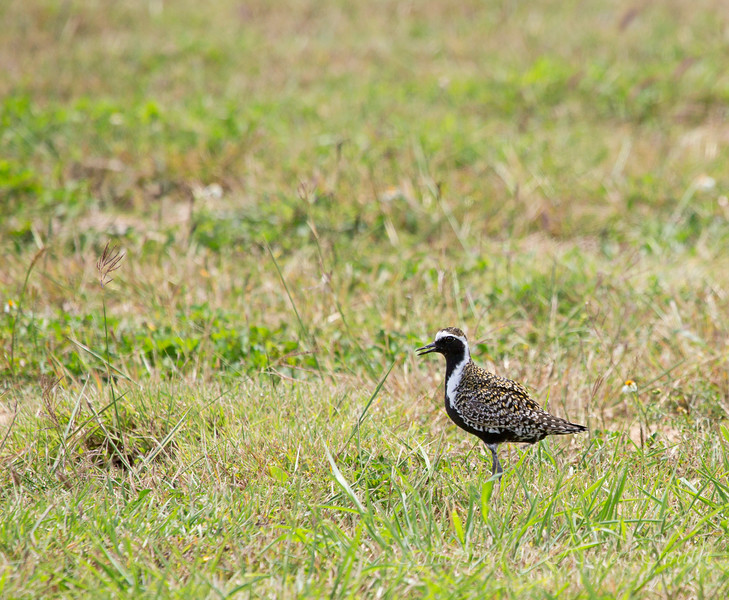 Pacific Golden Plover<br /> <br /> The first thing we saw coming through the airport gate was this bird!  They are stocking up on food before migrating out to their nesting grounds in Alaska, 2,000 miles away!