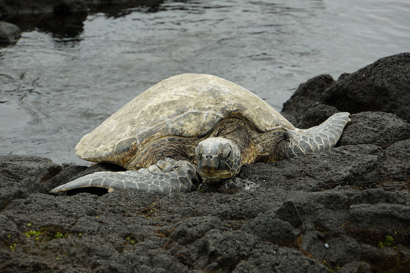 Beached turtle at Black Sand Beach
