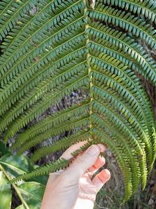 Frond of tree fern on Kilauea