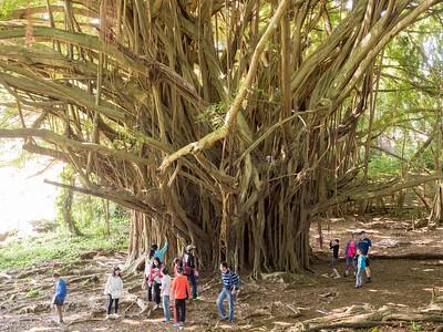 Large Banyan tree, Hilo