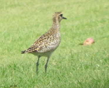 juvenille Pacific golden-plover
