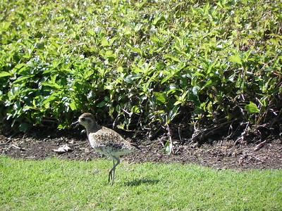 Pacific golden-plover (kolea)