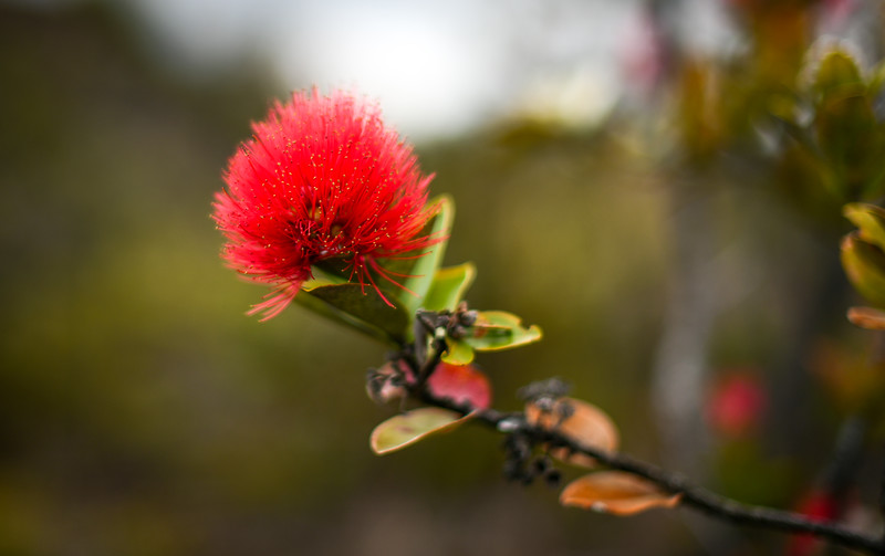 Close-up of Ohia Tree bloom in Volcanoes National Park, The Big Island, HI - March 2018