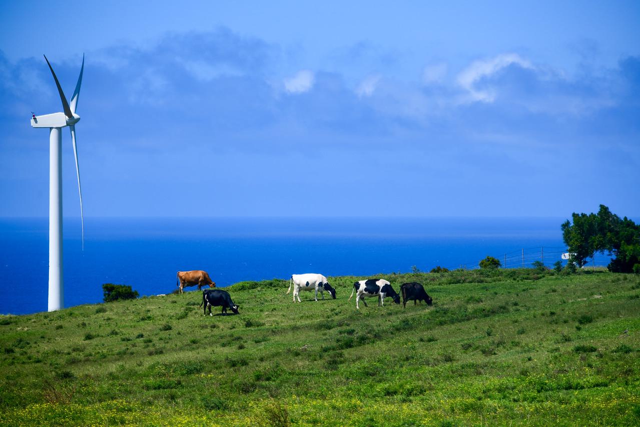 Cows grazing near Hawi Renewable Development Wind Farm, The Big Island, HI - March 2018