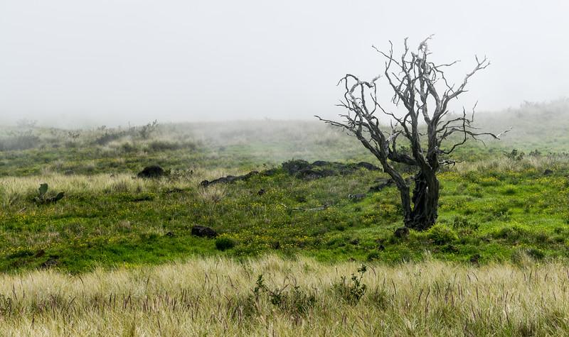 Dead tree and fog on Kohala Mountain Road, The Big Island, HI - March 2018