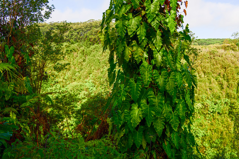 Large ivy growing on tree near Akaka Falls on the Big Island, HI - March 2018
