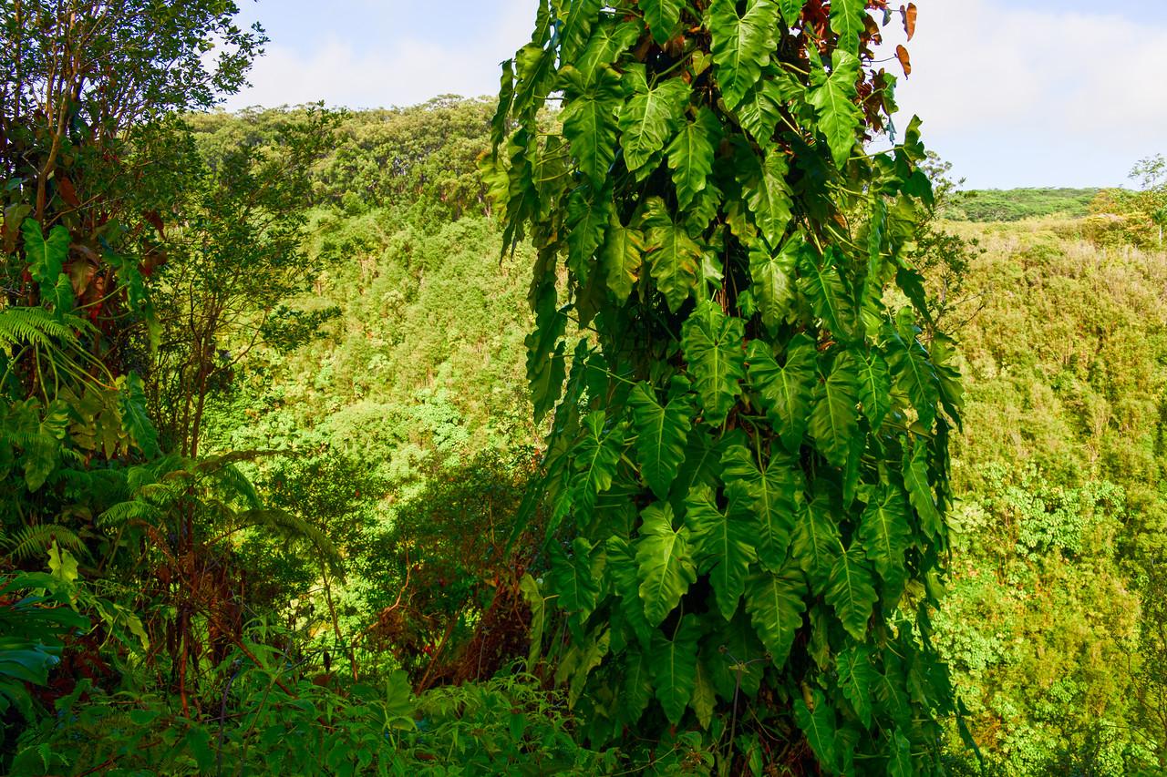 Large ivy growing on tree near Akaka Falls on the Big Island, HI - March 2018