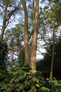 Rainbow Eucalyptus Tree - Hawaii