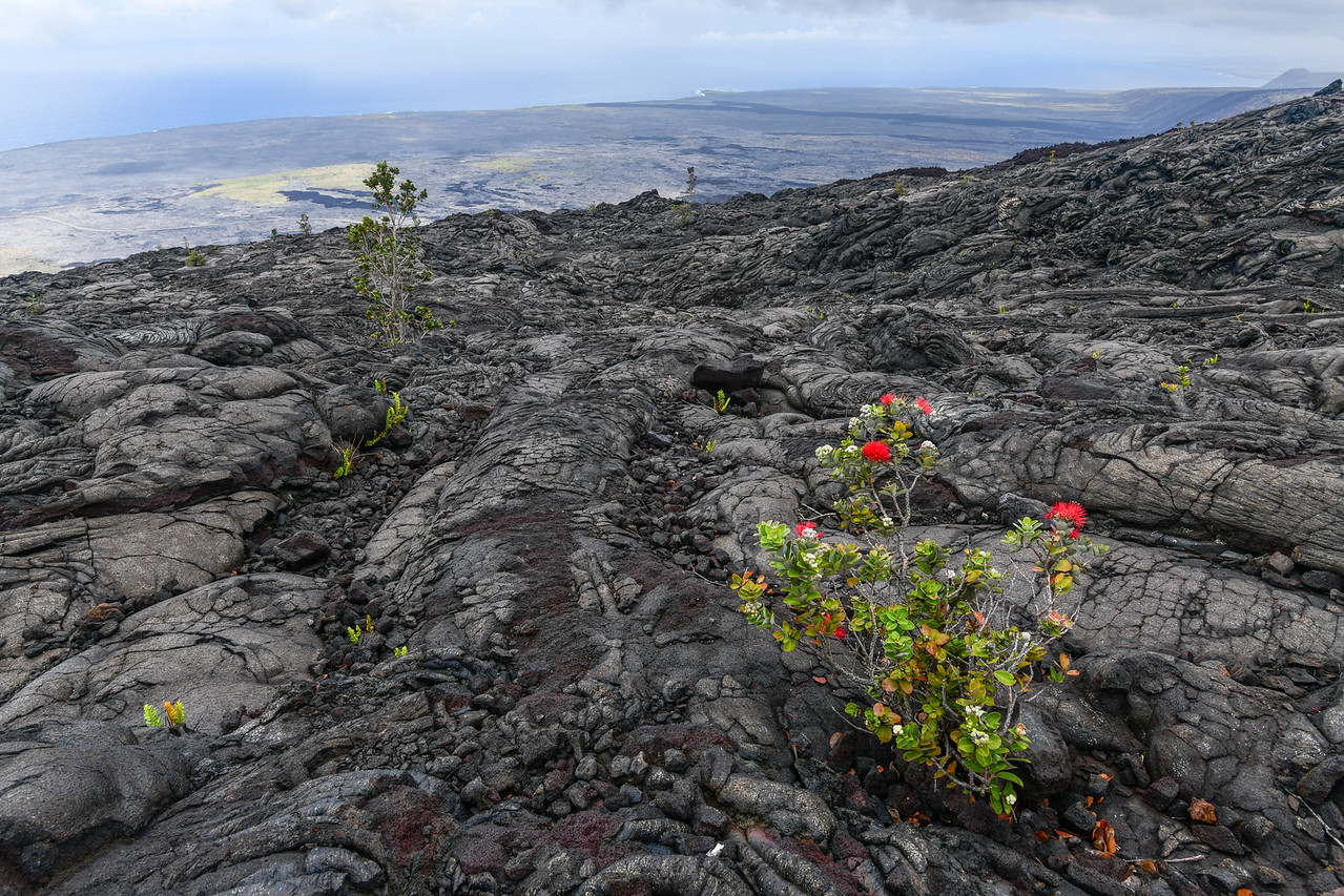 Looking toward southeastern coast over a Lava field with Ohia Tree in foreground, Volcanoes National Park,  The Big Island, HI