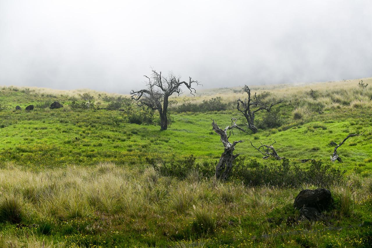 Dead trees and fog on Kohala Mountain Road, The Big Island, HI - March 2018