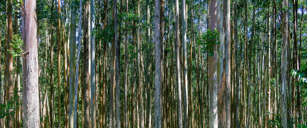 Thick trees near Hilo, The Big Island, HI - March 2018