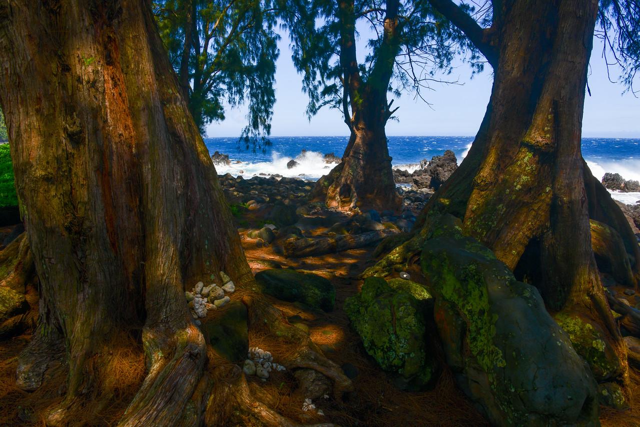 Eucalyptus trees at Laupahoehoe Point on the Hamakua Coast of the Big Island, HI - March 2018