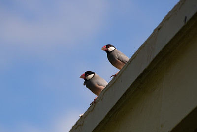 Java Sparrows - Maui