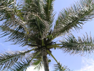 One of the coconut trees in our yard