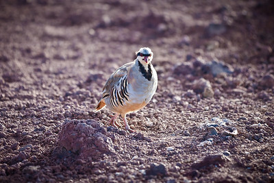 Looks a bandit to me!  This is a Chukar bird which is very common around Haleakala Volcano