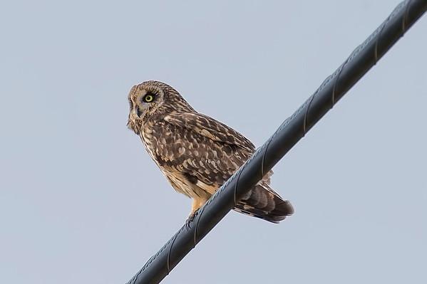 Pueo (Short-eared or Hawaiian) Owl